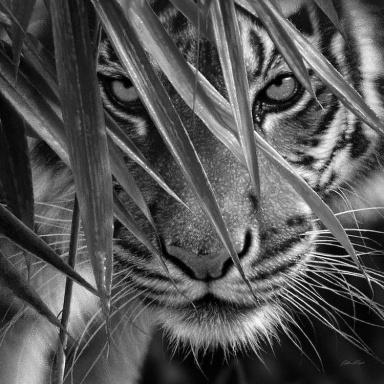 Tigerrr in the woods